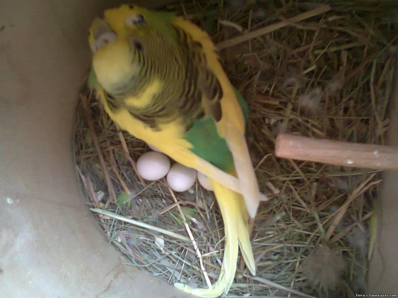 Усыпить попугая в домашних условиях
